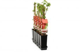 Vierkante rozenpot 2 ltr XB EH in tray met fruitbomen
